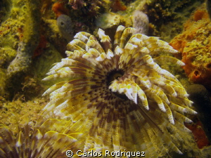 Social Feather Duster @ Crash Boat Beach, Aguadilla, P.R.... by Carlos Rodriguez 